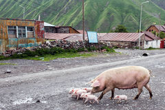 Pigs in a village in Caucasus mountains, Georgia Royalty Free Stock Photography