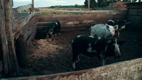 Pigs walking on pasture at rural farm on background hay stack. Portrait pigs looking at camera on livestock farm stock footage
