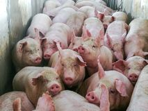 Pigs in slaughter house royalty free stock photography
