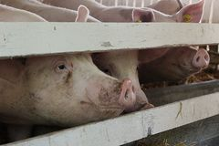 Many white pigs in barn royalty free stock photos