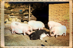 Pigs Stock Images