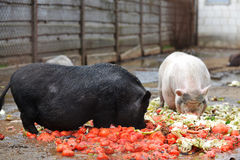Pigs  in  zoo. Pigs eating from  feeding trough in  zoo Stock Images