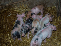 Pigstay. Small grooming piglets in a pigstay Royalty Free Stock Images
