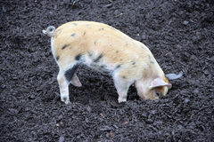 Pigsty 1 Lizenzfreies Stockfoto