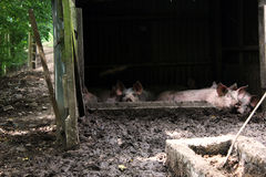 Pigsty in Normandy Stock Image