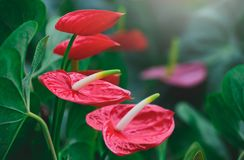 Pigtail Anthurium or red flamingo flower. Bloom in garden, Moody tone Stock Photo
