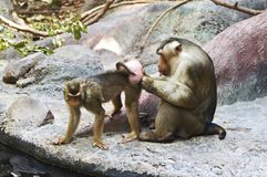 Pigtail Macaque couple Royalty Free Stock Image