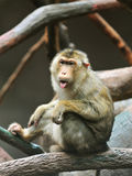 Pigtailed Macaque (Macaca nemestrina). Monkey sits on a branch Stock Photo