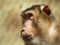 Pigtailed macaque Stock Images