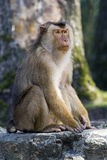 Pigtailed macaque Royalty Free Stock Photography