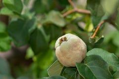 Pigw owoc na drzewie n Sonoran Dezerteruje zdjęcie royalty free