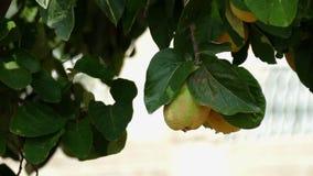Pigwa, Cydonia oblonga drzewo, kiwa w wiatrze zdjęcie wideo