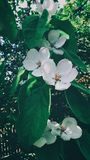 Pigwa kwiat Fotografia Stock