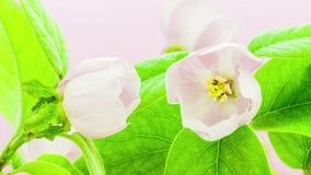 Pigwa kwiat Timelapse zbiory