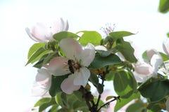 Pigwa kwitnie z pszczołą w niebie Zdjęcia Royalty Free
