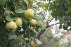 Pigwa na drzewie Zdjęcia Royalty Free