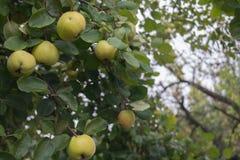 Pigwa na drzewie Zdjęcie Royalty Free
