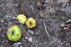 Pigwa, podgniła pigwa na ziemi z mrówką, liście i kamienie - spadać owoc, Zdjęcia Royalty Free