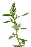 Pigweed (Amaranthus retroflexus) Royalty-vrije Stock Fotografie