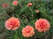 Pigweed in de tuin Royalty-vrije Stock Afbeelding