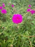 Pigweed di Pusley poco verdolaga hogweed Immagini Stock Libere da Diritti