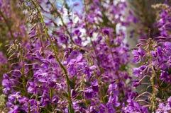 Pigweed flowers. Field overgrown with pigweed flowers (Epilobium angustifolium Stock Photography