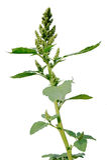 Pigweed (retroflexus do amaranto) Fotografia de Stock Royalty Free