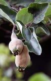 pigwy owocowy drzewo Fotografia Stock
