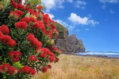 Piha strand med pohutukawaträdblomningen, Nya Zeeland fotografering för bildbyråer