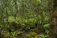 Pihea Trail tropical rainforest Cloud Forest Kauai. Moss covering Hawaii forest trees Birds nest fern (Aspleniaceae) and other native Hawaiian plants grow in Stock Photography