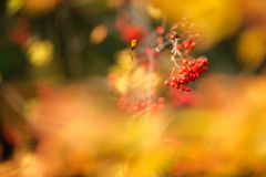 Red rowanberries in autumn season. Red Rowanberries and yellow leaves in autumn stock photos