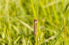 Pijący (Euthrix potatoria) - gąsienica obrazy royalty free
