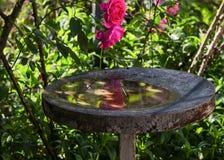 Pijący dla ptaków Zdjęcie Royalty Free