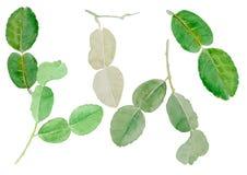 Pijawki wapna liścia akwareli ilustracyjny wektorowy tło Fotografia Stock
