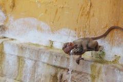 pije małpy woda Obraz Stock