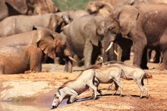 pije słonie zbliżają warthog Zdjęcia Stock