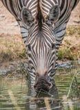 Pije zebra Obrazy Royalty Free