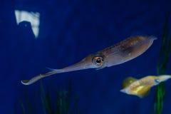 Pijlinktvis met kleurrijke ogen Royalty-vrije Stock Foto