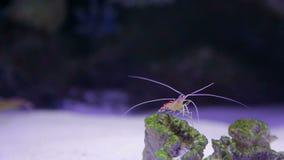 Pijlinktvis op een rots stock video