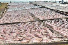 Pijlinktvissen die in het zonlicht drogen Stock Afbeelding