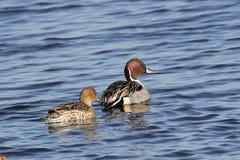 Pijlstaart Duck Pair stock foto