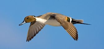 Pijlstaart, Northern Pintail, Anas acuta royalty free stock image
