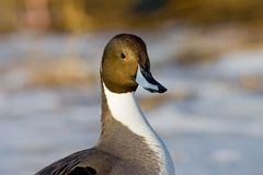 Pijlstaart, Northern Pintail, Anas acuta stock image