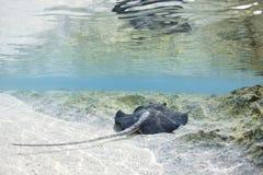 Pijlstaartrog in de Maldiven Stock Afbeeldingen