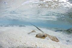 Pijlstaartrog in de Maldiven Royalty-vrije Stock Afbeeldingen