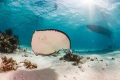 Pijlstaartrog in een ondiepe, zandige lagune stock fotografie