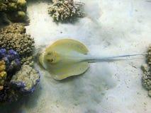 Pijlstaartrog en koraalrif Stock Afbeeldingen