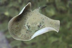 Pijlstaartrog op aquariumvissen Stock Foto