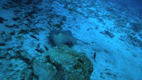 Pijlstaartrog zwemmen onderwater langs de oceaanbodem stock video