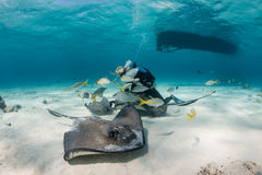 Pijlstaartroggen en Scuba-duikers stock foto